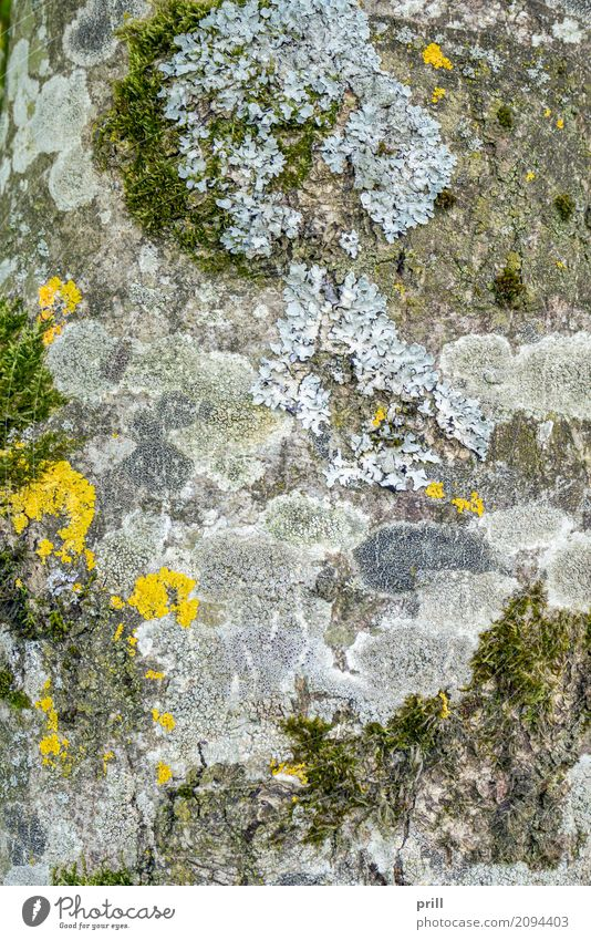 moss and lichen on tree bark Natur Pflanze Baum gelb Hintergrundbild natürlich grau Wachstum Verbindung Moos Pilz Botanik Baumrinde Vielfältig Überleben