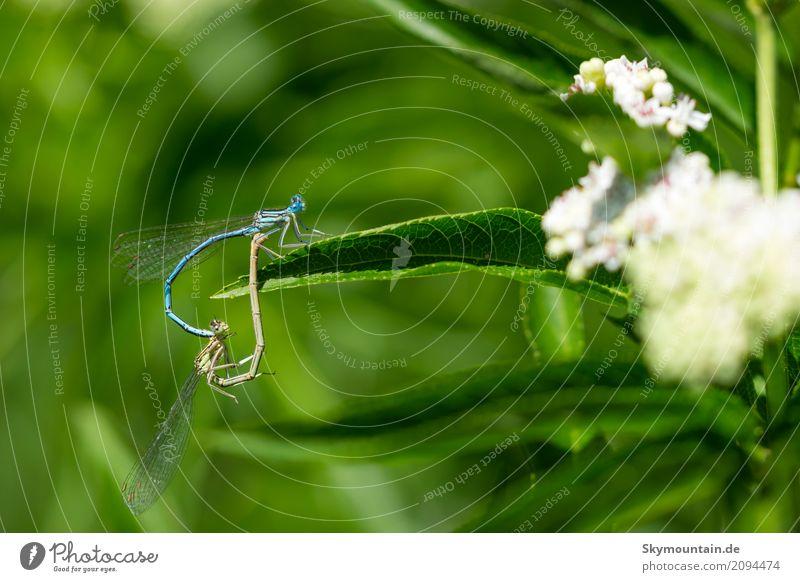 Liebe - Lieb bellen - Libellen Natur Pflanze blau Sommer grün weiß Sonne Blume Tier Strand Umwelt Herbst Gefühle Wiese Garten