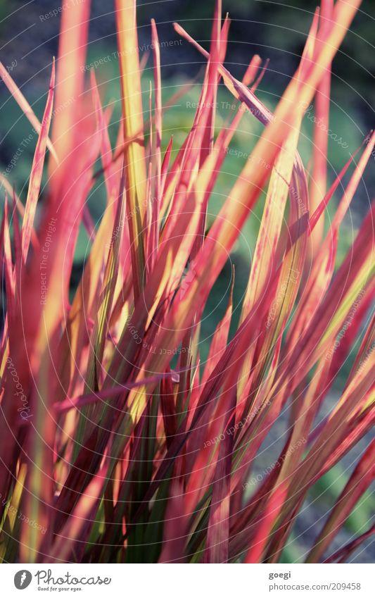grasrot Natur grün Pflanze rot Sommer gelb Farbe Gras ästhetisch Wachstum Sträucher rein einzigartig Blühend exotisch nachhaltig