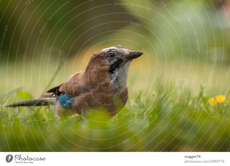 Eichelhäher 1 Umwelt Natur Tier Sonnenlicht Frühling Sommer Herbst Schönes Wetter Blume Gras Garten Park Wiese Wald Vogel Tiergesicht Flügel ästhetisch