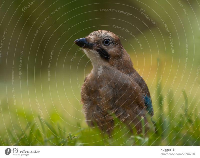 junger Eichelhäher 2 Umwelt Natur Tier Sonnenlicht Frühling Sommer Herbst Schönes Wetter Gras Garten Park Wildtier Vogel Tiergesicht Flügel 1 Tierjunges