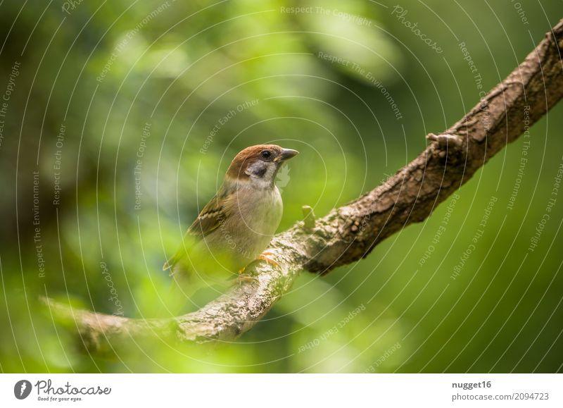 Sperling Umwelt Natur Tier Frühling Sommer Herbst Schönes Wetter Baum Sträucher Garten Park Wald Wildtier Vogel Spatz 1 ästhetisch frech Freundlichkeit