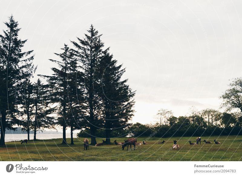 Roadtrip West Coast USA (319) Natur Hirsche Reh Tier Westküste Pazifik Sonnenaufgang Dämmerung Nadelbaum Wiese Fressen Farbfoto Außenaufnahme