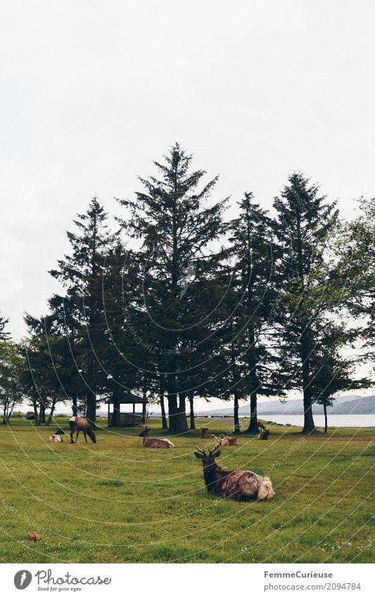 Roadtrip West Coast USA (306) Natur Elch Reh Westküste Nadelbaum Tier Pazifik Horn Farbfoto Außenaufnahme Textfreiraum oben Textfreiraum unten Morgen