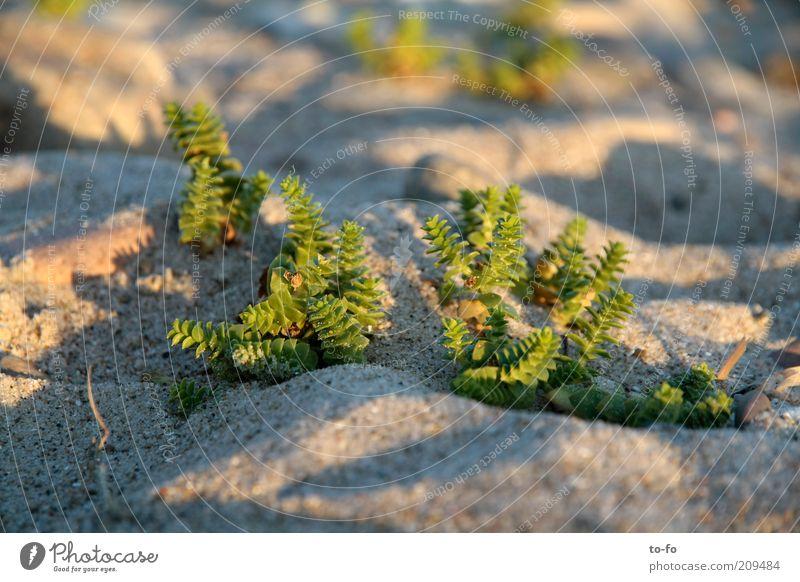 Wäldchen Natur Pflanze Sand Küste Strand klein grün Fetthenne Farbfoto Außenaufnahme Makroaufnahme Menschenleer Abend Schatten Schwache Tiefenschärfe