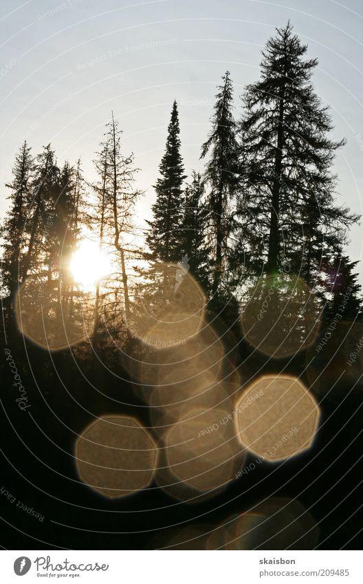 morgenmuedigkeit Natur Sonnenaufgang Sonnenuntergang Baum Wald dunkel Romantik Silhouette Schatten Nadelbaum Baumstamm Waldlichtung Morgen Gedeckte Farben