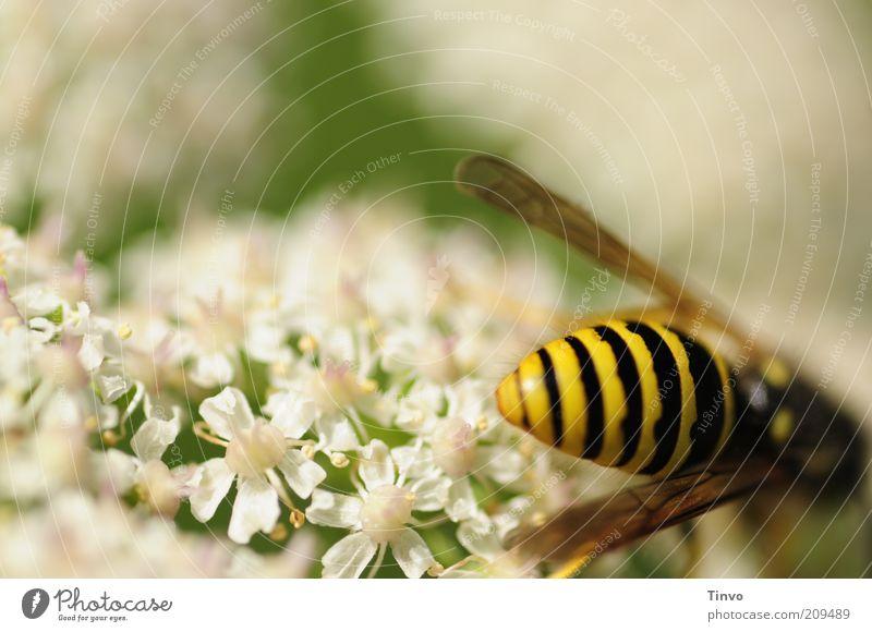 schwarz-gelbes Hinterteilchen Natur weiß grün Sommer Blüte hell frisch Flügel zart Wildtier Schönes Wetter gestreift stachelig Blütenblatt