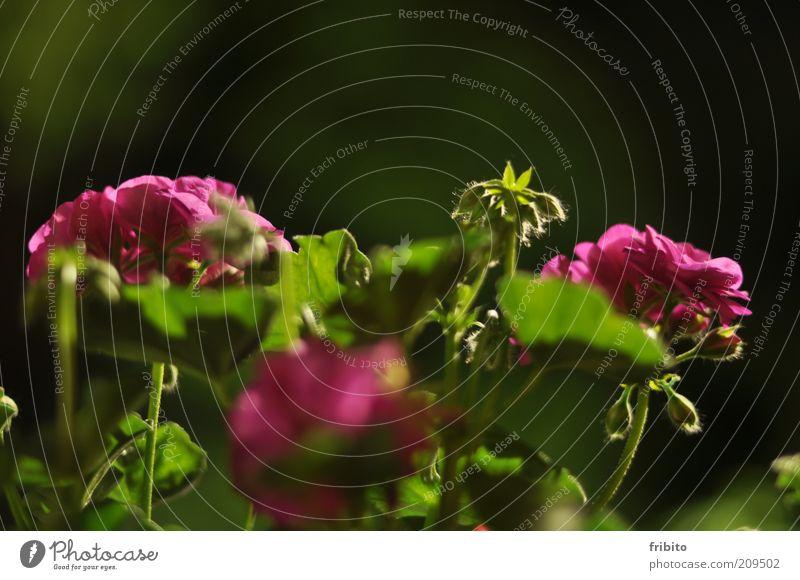 Leuchtende Geranien Umwelt Natur Pflanze Sommer Wetter Blume Blüte Grünpflanze Topfpflanze Duft schön weich grün rosa authentisch Farbfoto mehrfarbig