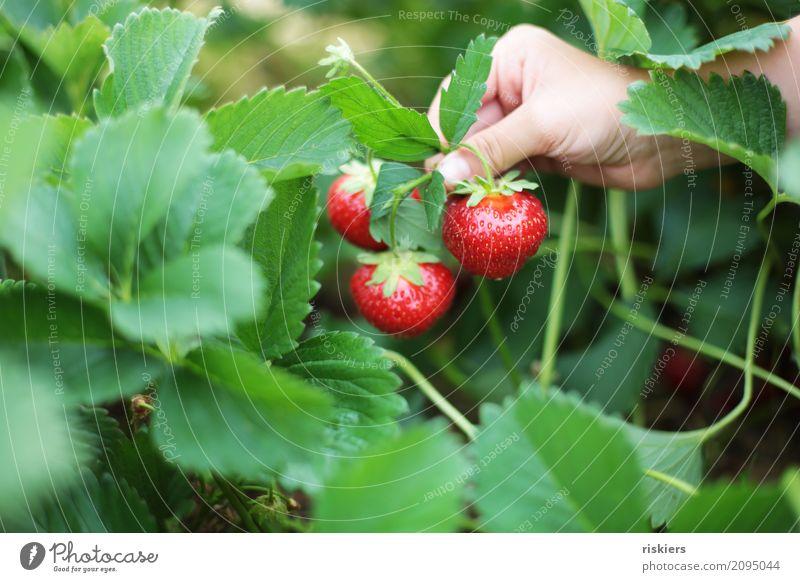 im Erdbeerfeld iii Mensch Kind Natur Pflanze Sommer grün Landschaft Hand rot Umwelt Frühling Gesundheit Feld frisch Kindheit festhalten