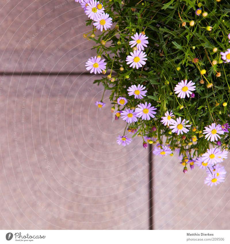 #Blumenkübel Natur schön Pflanze Sommer Blüte Umwelt ästhetisch violett Blühend Duft Gänseblümchen Geruch Grünpflanze Bodenplatten Perspektive
