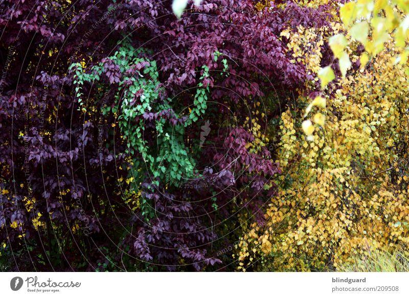 3 Colors Green Baum Grünpflanze Garten dunkel braun gelb grün violett schwarz Sommer Blatt Wachstum harmonisch einheitlich Pflanze schön mehrfarbig Vielfältig