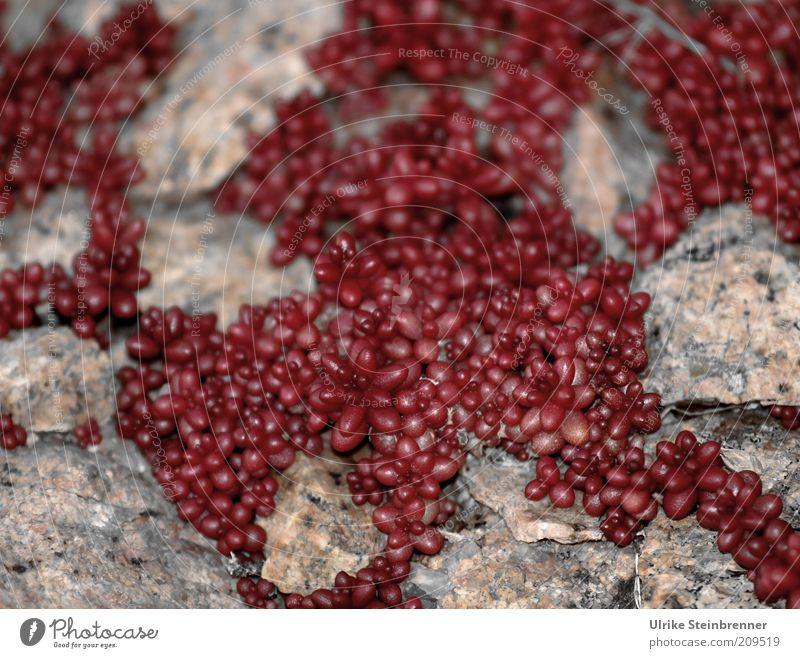 Kleine dicke Dinger Pflanze rot Stein Wachstum rund viele trocken Blütenknospen dick bizarr Spalte bewachsen Wildpflanze Mauerpflanze ausbreiten Nische