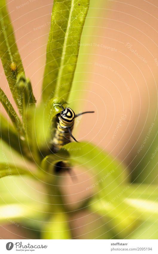 Monarchgleiskettenfahrzeug, Danaus plexippus Garten Natur Pflanze Blume Wiese Feld Tier Wildtier Schmetterling Flügel 1 gelb grün schwarz Monarch Raupe
