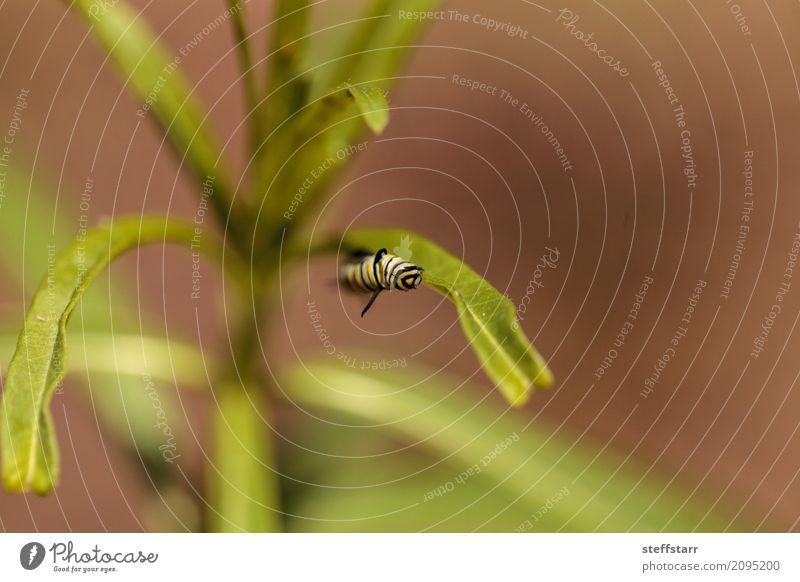 Monarchgleiskettenfahrzeug, Danaus plexippus Garten Natur Pflanze Gras Wiese Tier Schmetterling Flügel 1 gelb grün schwarz Monarch Raupe gestreifte Raupe Insekt