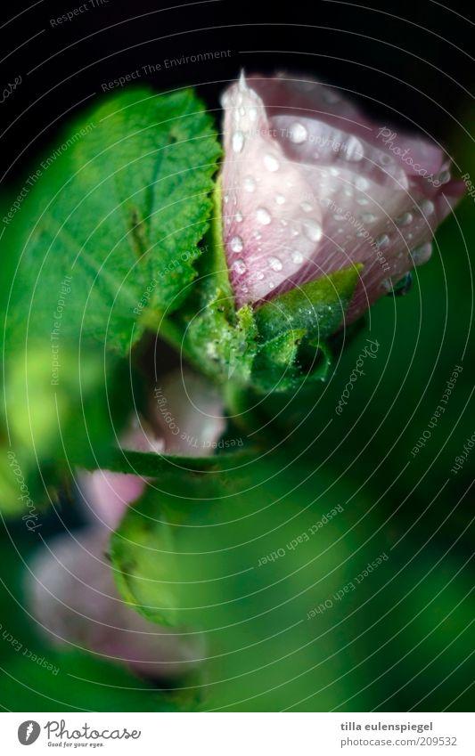 erfrischung gefällig? Natur Blume grün Pflanze Sommer Blatt Blüte Regen rosa Umwelt nass Wassertropfen frisch wild natürlich