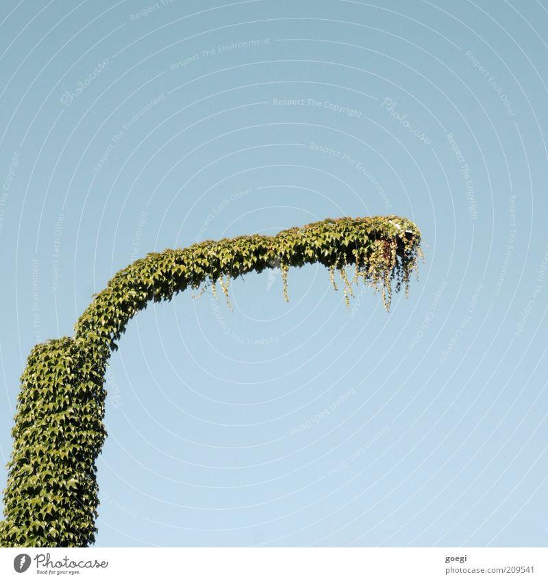 Lumenosaurus Natur Pflanze Himmel Efeu Blatt Grünpflanze Wilder Wein Straßenbeleuchtung Laternenpfahl Pfosten hängen Wachstum blau grün Willensstärke Schutz