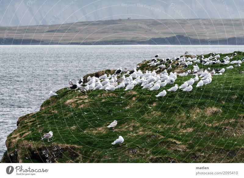 wir wollen immer zueinander stehn Frühling Wetter Sturm Gras Wiese Felsen Küste Meer Wildtier Vogel Tiergruppe Schwarm stehen Möwe ausgerichtet Windrichtung