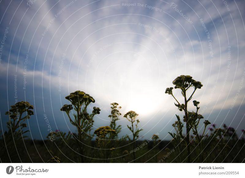 Gegenlicht Umwelt Natur Landschaft Pflanze Urelemente Luft Himmel Wolken Sonne Sommer Klima Wetter Schönes Wetter Wind Blume Blüte Wildpflanze Wiese genießen
