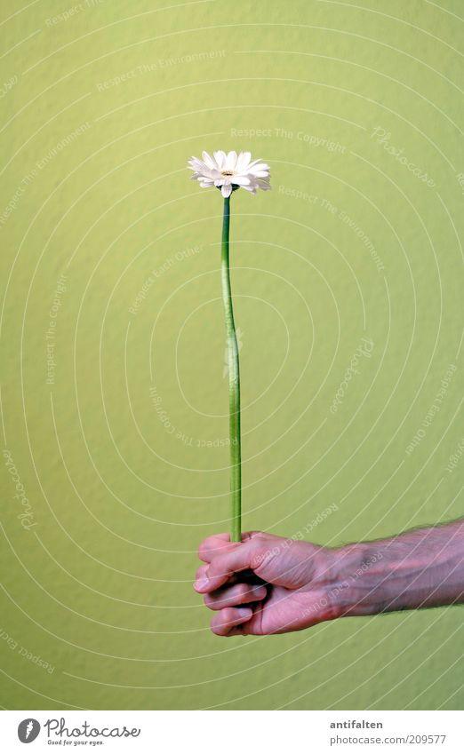 DÄÄÄÄÄÄÄ!!! maskulin Mann Erwachsene Arme Hand Finger 1 Mensch Pflanze Blume Blüte Stengel Astern Blumenstrauß Geschenk ästhetisch Duft einfach Glück natürlich