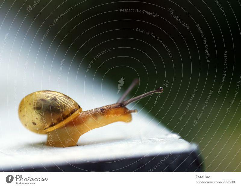 Schneckchen Natur Tier gelb hell Umwelt natürlich Wildtier durchsichtig Schnecke Fühler krabbeln schleimig Aktion Schneckenhaus