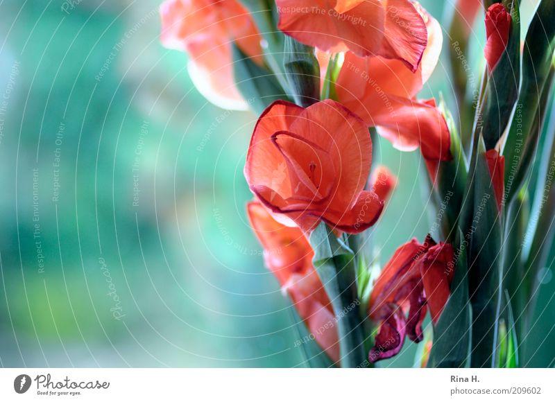 Gladiiolen am Fenster Blume grün Pflanze rot Sommer Blüte ästhetisch Lebensfreude Blühend leuchten Blumenstrauß Stillleben positiv Blütenblatt verblüht Lilien