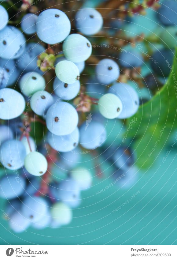 la bleu I Natur blau Pflanze Frucht rund Duft türkis hängen Beeren Gift himmelblau
