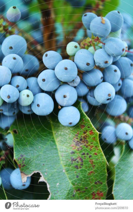 la bleu II Natur blau Pflanze Blatt klein mehrere rund Sträucher türkis viele hängen Beeren Frucht himmelblau bedeckt