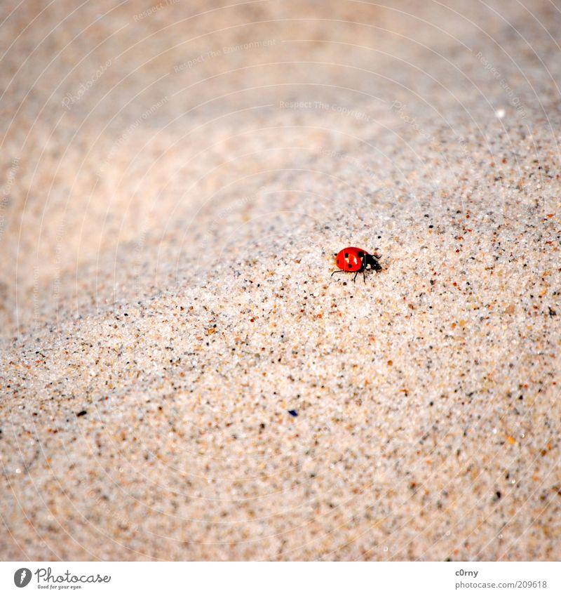 hard knock life Natur Strand Tier Bewegung Sand klein Marienkäfer krabbeln Textfreiraum Licht Glücksbringer Sandkorn