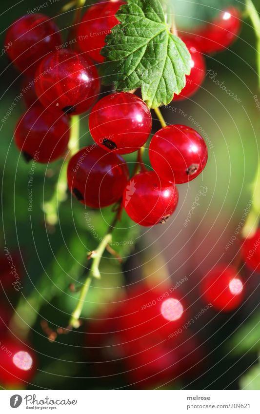 Erntezeit !!! grün Sommer rot Gesundheit Lebensmittel Frucht Wachstum Schönes Wetter Ernährung genießen süß Beeren sauer fruchtig Makroaufnahme Johannisbeeren
