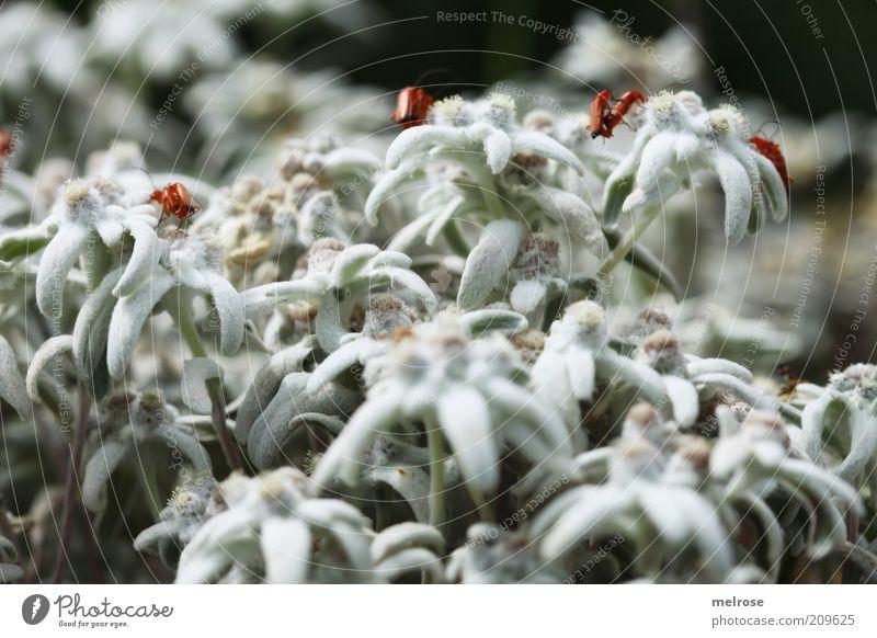 """"""" alles aufsitzen ... """" Natur weiß Pflanze Sommer Tier Blüte Blühend Käfer krabbeln mehrere Wildpflanze"""