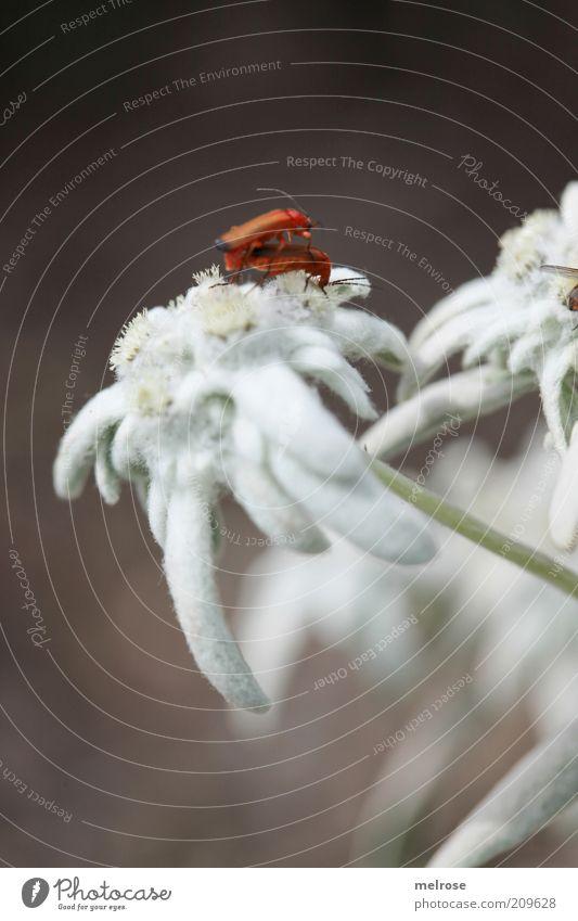 ... ertappt ... Natur weiß Pflanze Sommer Tier Blüte braun Tierpaar berühren Blühend Käfer krabbeln Fortpflanzung Tierliebe Insekt Wildpflanze