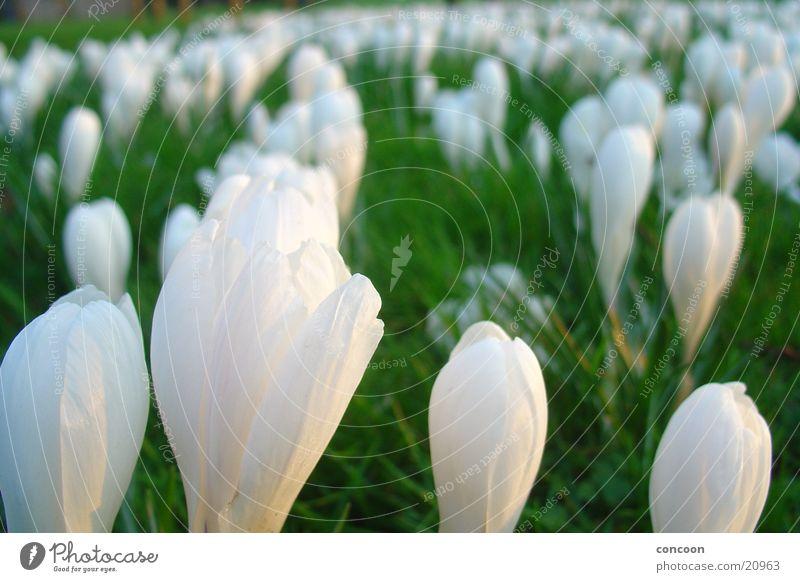 Kroküsse Krokusse Wiese Frühling leicht Blüte Blume Wales Großbritannien Natur frühlingshaft Sonne Cardiff