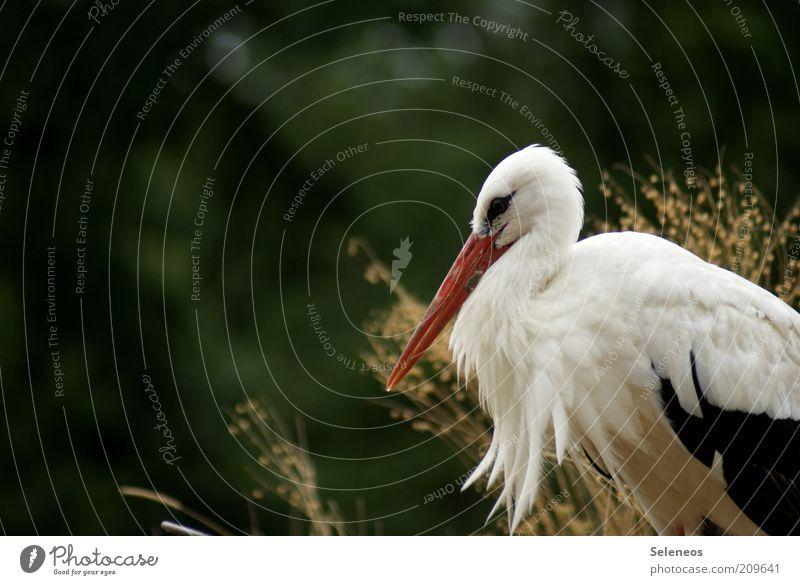 Adebar Natur Pflanze Sommer Tier Gras Frühling Umwelt Ausflug ästhetisch Sträucher Feder Tiergesicht Klima Flügel Wildtier