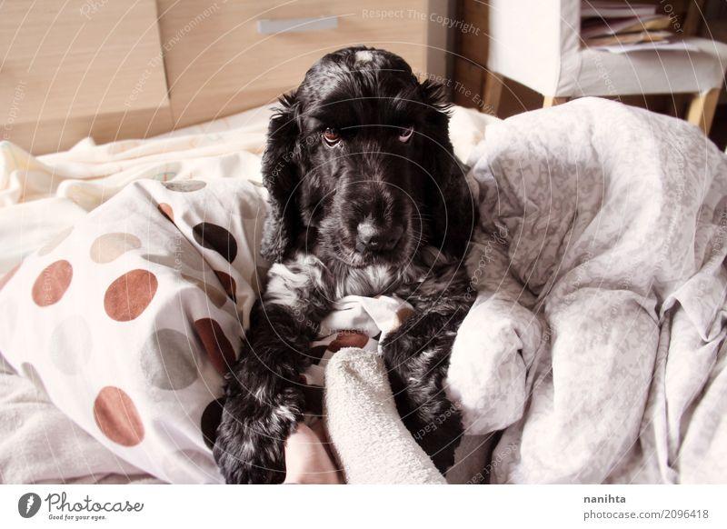 Entzückender Cockerspanielhund Lifestyle Häusliches Leben Wohnung Innenarchitektur Bett Kopfkissen Tier Haustier Hund 1 liegen Blick Freundlichkeit listig