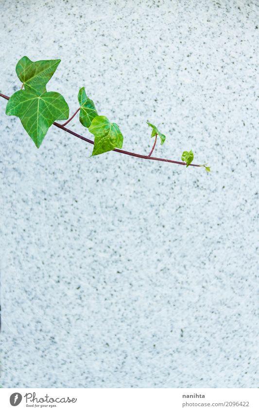 Strukturierter Steinhintergrund mit grünen Blättern Natur Pflanze Blatt Mauer Wand einfach Erfolg frisch natürlich grau Senior Ende Endzeitstimmung Hoffnung
