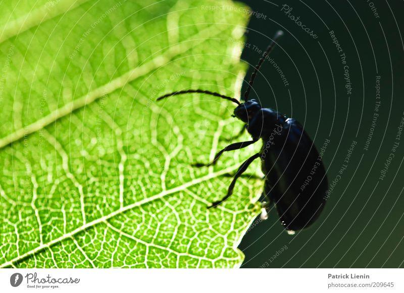 fall nicht runter Kleiner Umwelt Natur Pflanze Tier Sommer Blatt Grünpflanze Wildpflanze Wildtier Käfer 1 Fühler grün dunkel krabbeln hell Blattadern schön