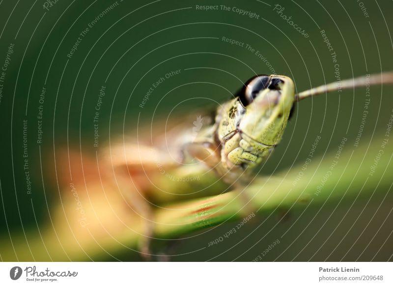 grasshopper Umwelt Natur Tier Sommer Wildtier Tiergesicht 1 beobachten Bewegung entdecken krabbeln Blick authentisch exotisch groß Heuschrecke Farbfoto