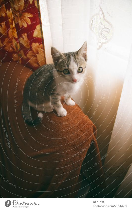 Kleine Tabbykatze zu Hause Raum Wohnzimmer Tier Haustier Katze Tiergesicht 1 Tierjunges Gardine Freundlichkeit listig lustig Neugier niedlich schön weich orange