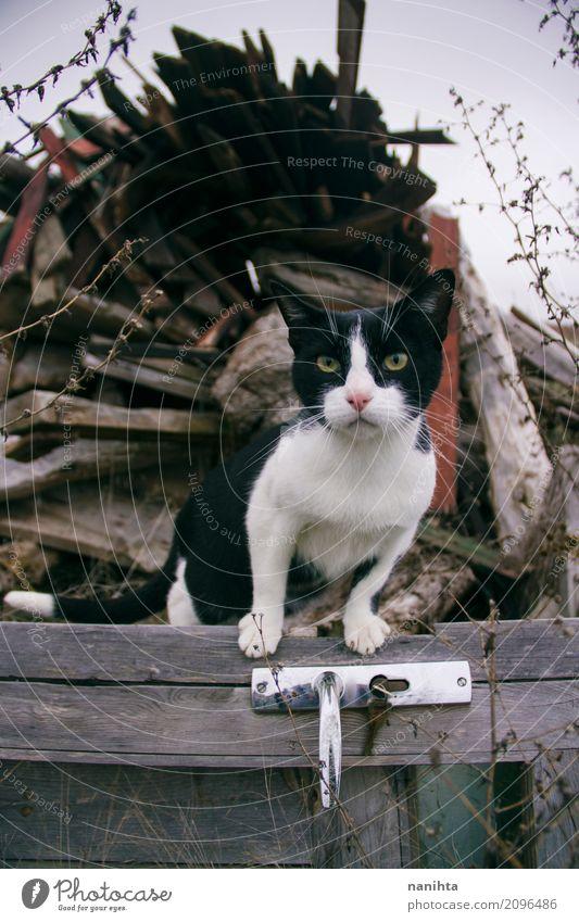 Schöne Gassenkatze über einer hölzernen alten Tür Katze schön weiß Tier Winter schwarz Herbst Holz braun Metall frei Wetter Kraft warten Klima