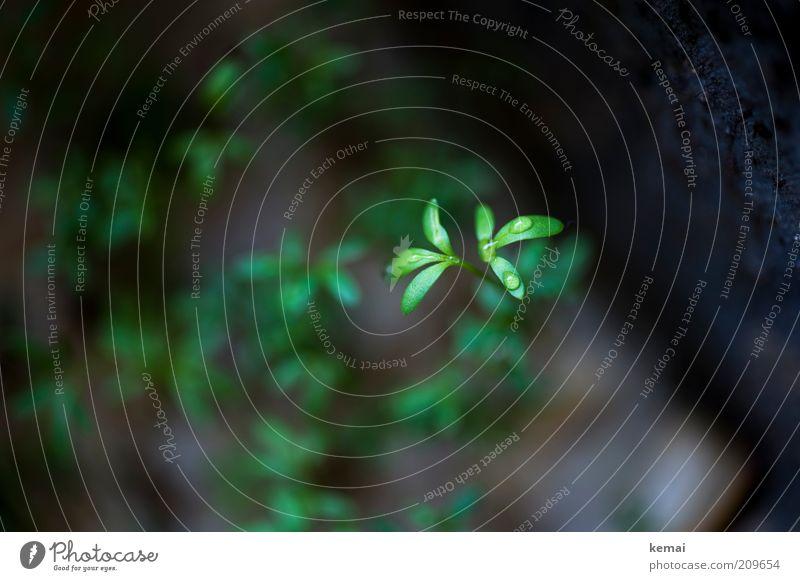Nasse Kresse Ernährung Pflanze Grünpflanze Nutzpflanze nass grün Tropfen Wassertropfen Farbfoto Gedeckte Farben Innenaufnahme Nahaufnahme Textfreiraum links