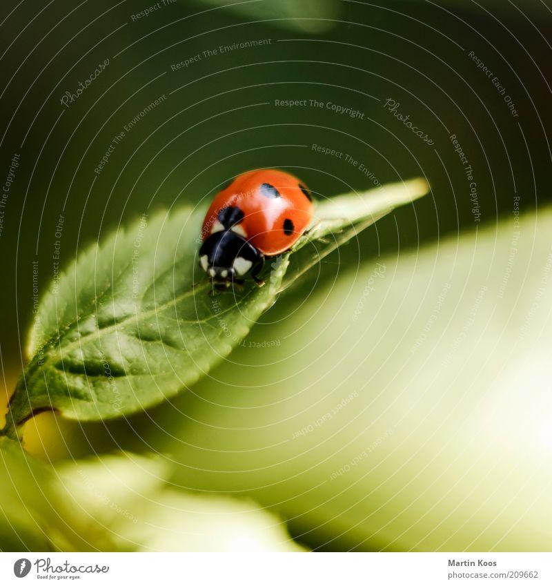Marie Ann Käfer Blatt Grünpflanze 1 Tier niedlich rund Marienkäfer Punkt gepunktet rot Insekt Farbfoto Außenaufnahme Textfreiraum oben Menschenleer