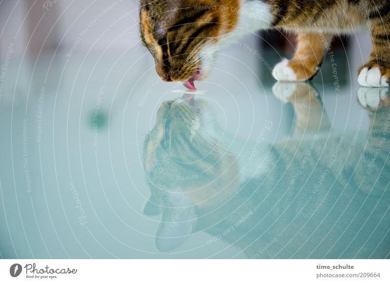 Katzenmilch Tier Glück Glas trinken Sauberkeit rein Fell Pfote Haustier Spiegelbild Blick lutschen Hauskatze Reinheit Tierjunges