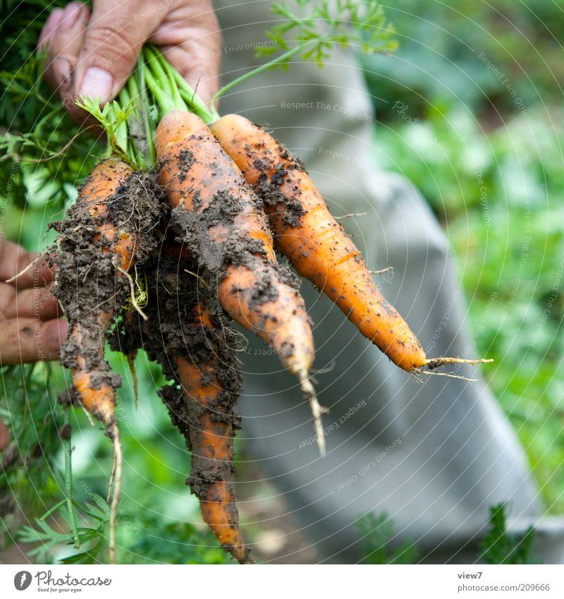 Möhrchen Natur Hand Pflanze Garten dreckig Lebensmittel Umwelt Finger Erde frisch authentisch einfach Freizeit & Hobby Lebensfreude Gemüse reif
