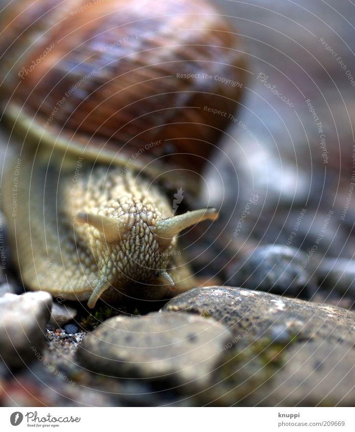Ich zieh um! ruhig Ausflug Sommer Umwelt Natur Tier Sonnenlicht Schnecke Tiergesicht 1 Stein braun grau Weinbergschnecken langsam schleimig Schneckenhaus