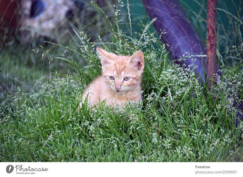 Kleiner Roter Katze Natur Pflanze Sommer grün Tier Tierjunges Umwelt Auge Wiese natürlich Gras klein Garten grau braun