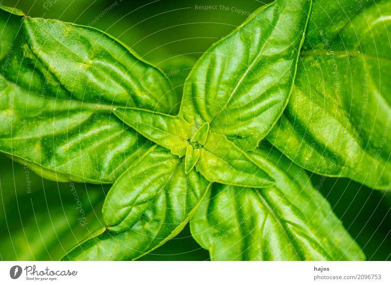 Basilikum, Ocimum basilicum Kräuter & Gewürze Italienische Küche Duft lecker grün Nahaufname Blättter geschätzt Küchenkräuter Würzig Pesto mediterran Mittelmeer