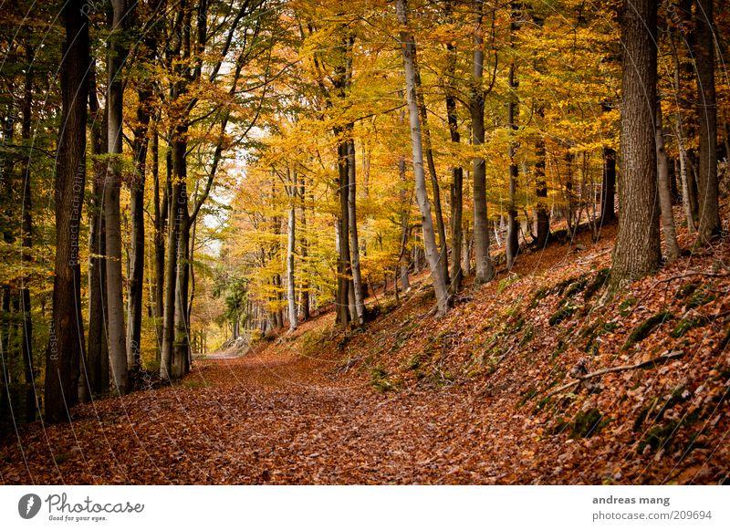 Gold Natur Baum Blatt Wald Herbst Umwelt Wege & Pfade träumen gold Hoffnung Sehnsucht Schönes Wetter Erwartung Herbstlaub Herbstfärbung Herbstwald