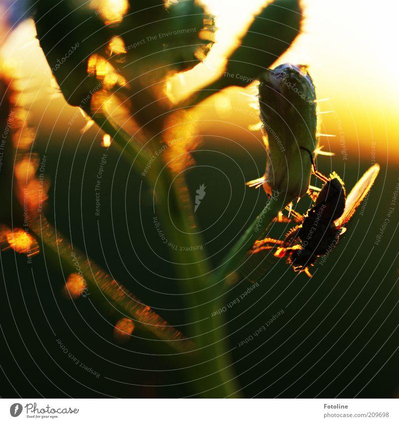 Fliege genießt Sonnenuntergang Natur Blume Pflanze Sommer schwarz Tier gelb Wärme Umwelt gold sitzen Flügel Insekt natürlich Wildtier