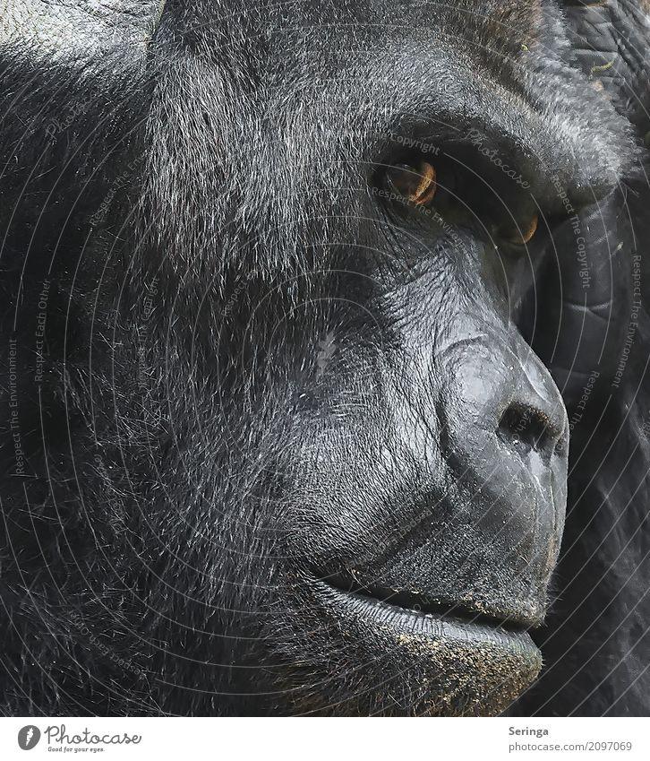 Nachdenklich Tier Denken Wildtier Fell Tiergesicht Zoo Pfote Affen Gorilla