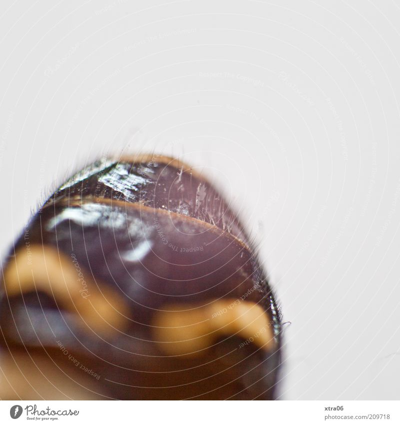 sexy hintern ;) 1 Tier authentisch Hinterteil Insekt braun Farbfoto Nahaufnahme Detailaufnahme Makroaufnahme Textfreiraum oben Hintergrund neutral Menschenleer